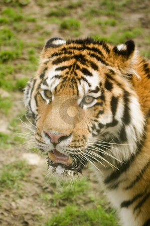 Amur Tiger stock photo, Amur Tiger (Panthera tigris altaica) looking to left of frame - portrait orientation by Stephen Meese