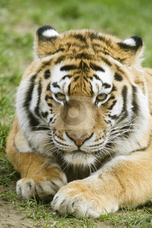 Amur Tiger stock photo, Amur Tiger (Panthera tigris altaica) looking at viewer - portrait orientation by Stephen Meese