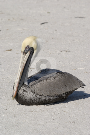Brown Pelican stock photo, Brown Pelican (Pelecanus occidentalis) - portrait orientation by Stephen Meese