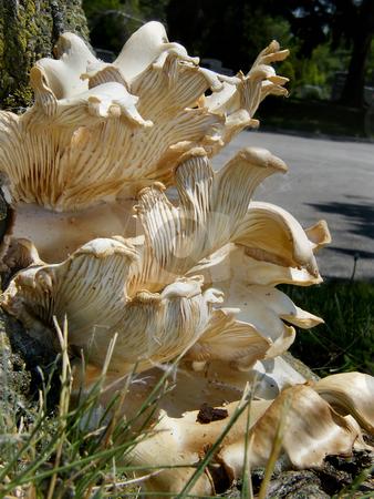 Fungi stock photo, Large Fungi (fungus) Growing at the base of a large tree in Northwest Ohio. by Dazz Lee Photography
