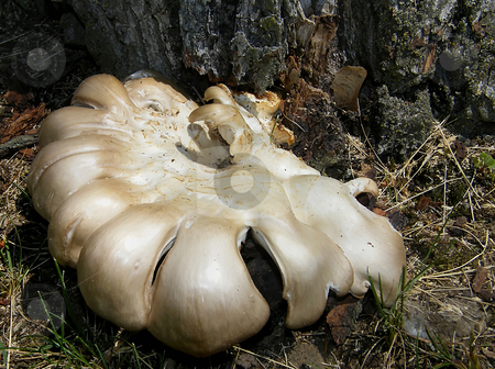 Fungi stock photo, Large Fungi (fungus) Growing at the base of a large tree in Northwest Ohio. by Dazz Lee Photography