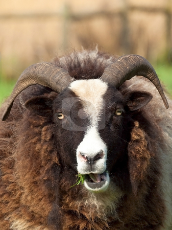 Jacobs Sheep stock photo, Jacobs sheep in field by Mike Smith