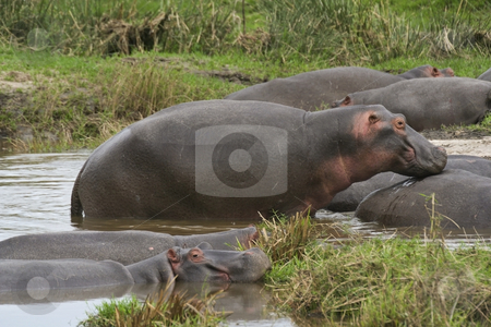Hippos in kenya 2 stock photo, A group of hippos on the masai mara kenya by Mike Smith