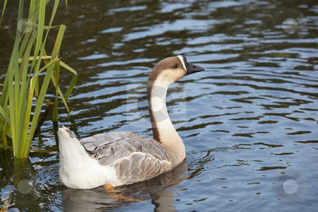 Swan goose female 2 stock photo, A female swan goose anser cygnoides swimming by Mike Smith