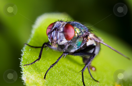 Fly macro stock photo, Macro of a red eyed fly with focus on the eye by Steve Mcsweeny