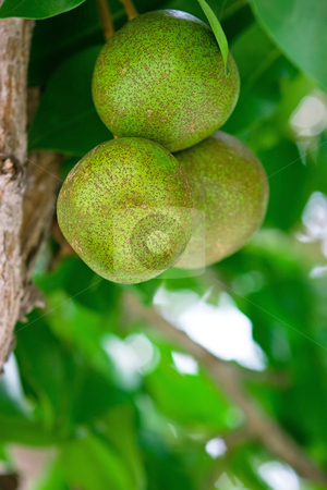 Pear tree stock photo, Pear tree fruits in the tropical garden by Dmitry Rostovtsev