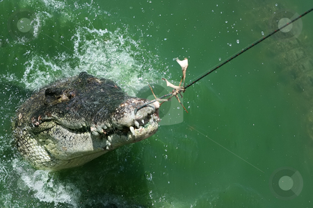 Got you stock photo, Big crocodile caught with the fishing rod by Dmitry Rostovtsev