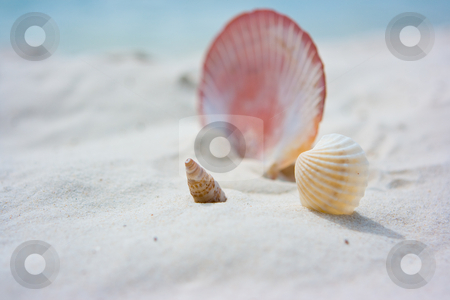Three different shells on sand stock photo, Three different shells on the beach sand by Dmitry Rostovtsev