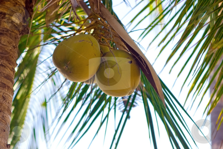 Coconuts stock photo, Some coconuts hanging on the palm tree by Dmitry Rostovtsev