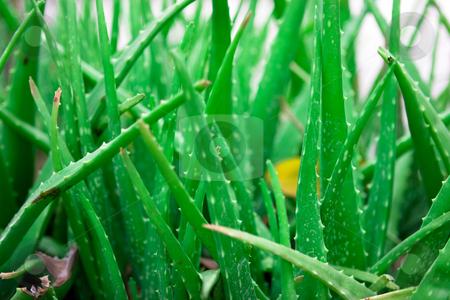 Aloe vera stock photo, Aloe vera plants all over by Dmitry Rostovtsev