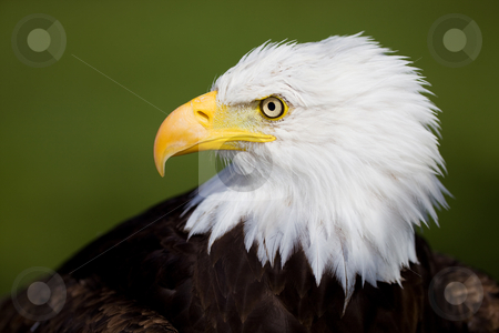 Eagle detail stock photo, High resolution bald eagle portrait on a green background by Steve Mcsweeny