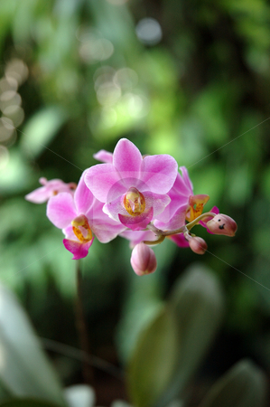 Pink orchid stock photo, Pink orchid that growth well in indonesia by Bayu Harsa