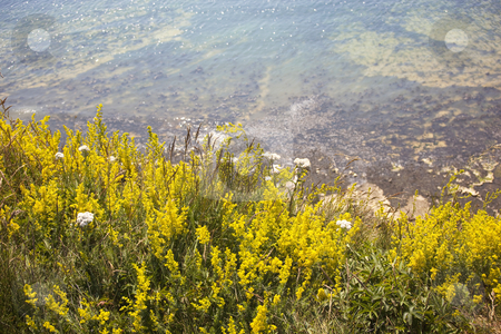 Ladies bedstraw flowers on edge of coastal path stock photo, Ladies bedstraw flowers on edge of coastal path by Mike Smith