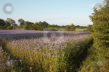 Purple flowers stock photo, A field of purple nyjer seed crop in early morning light by Mike Smith