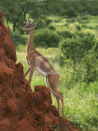 Gerenuk on a termite mound stock photo, A gerunuk standing by a termite mound in samburu national park northern kenya by Mike Smith