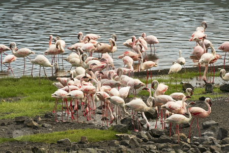 Flamingoes in kenya stock photo, A group of flamingoes by a lake at nakuru in kenya by Mike Smith