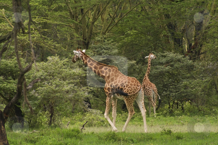 Rothchilds giraffe in kenya 2 stock photo, A pair of rothchilds giraffe in kenya by Mike Smith