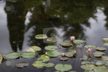 Lily pad pond stock photo, Pond with pink lily pad flowers by Yann Poirier