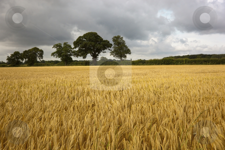 Ripening barley in summer stock photo, Ripening field of barley with trees in background by Mike Smith
