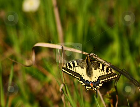 Butterfly (Papilio machaon) stock photo,  by Rados?