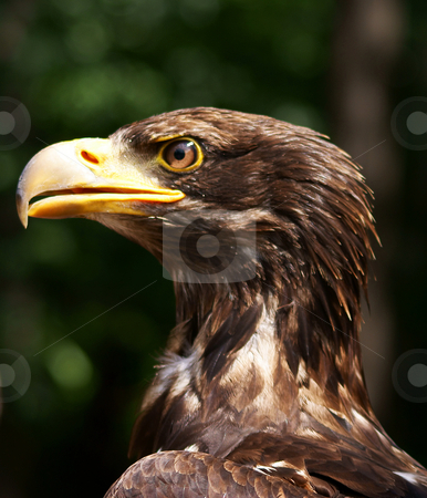 Eagle stock photo,  by Rados?