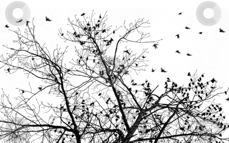 Many starlings stock photo, Tree with large group of birds flying around in silhouette by Wino Evertz