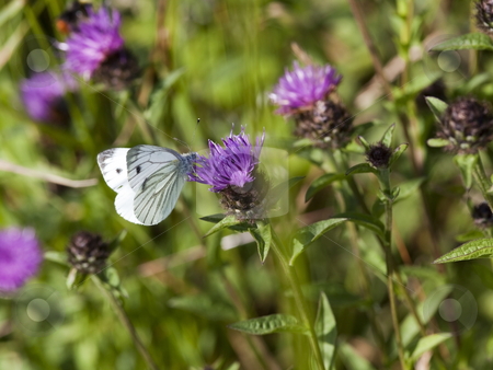 Large white butterfly on knapweed flower stock photo, A large white butterfly on a knapweed flower in summer; by Mike Smith