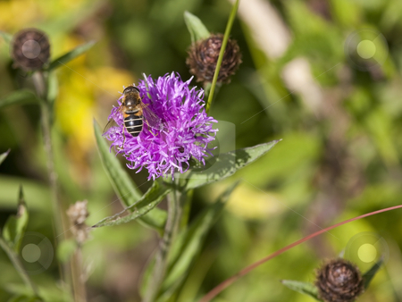 Hoverfly on knapweed flower stock photo, A hoverfly on a knapweed flower in summer by Mike Smith