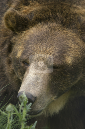 Brown Bear stock photo, Wild Brown Bear (Ursus americanus horribilis) Banff National Park by Stephen Meese