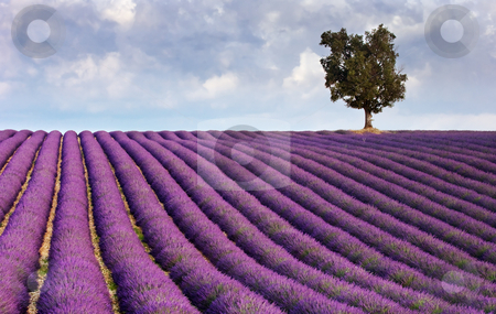Lavender field and a lone tree stock photo, Image shows a  lavender field in Provence, France, with a lone tree in the background by Andreas Karelias