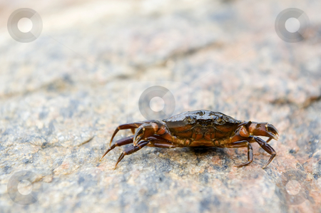 Defensive crab stock photo, Small crab, raising its claws in defense by Corepics VOF