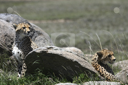 Two young Cheetahs stock photo, Young Cheetahs looking for their mother by Sharron Schiefelbein