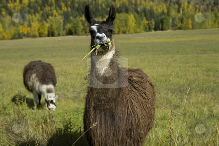 Two Llamas in a field stock photo, Lovely Autumn colors with to Llama grazing in the field. by Sharron Schiefelbein