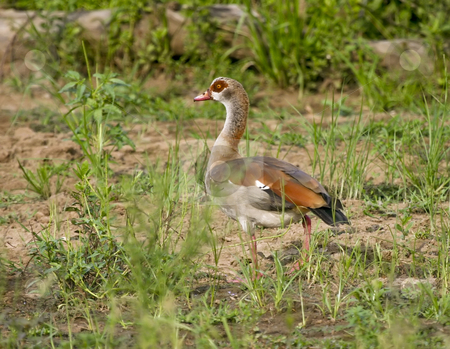221 Egyptian Geese stock photo, Egyptian geese on the banks of the Rufiji River. Egyptian Geese with dark patch around the eye and pink bill by Sharron Schiefelbein