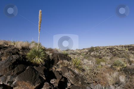 Beautiful desert scene framed in with a blue sky stock photo, Cactus plant in the Valley of the Fires National Recreation Area Utah by Sharron Schiefelbein
