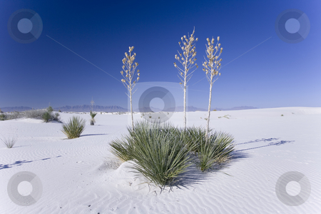 391 White Sands National Park stock photo, Plants surviving in the white sand desert trying not to be covered during wind storms. by Sharron Schiefelbein