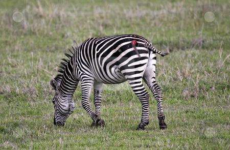 237 Zebra attacked by a lion stock photo, This zebra was attacked by a lion but was able to escape by Sharron Schiefelbein