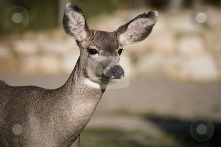 Deer close up stock photo, Mule deer close up by Sharron Schiefelbein
