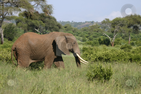388 Elephant walking stock photo, Elephant walking  in Tarangire Park Tanzania, Africa by Sharron Schiefelbein