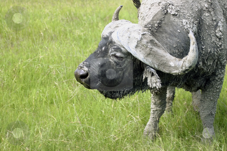 Cape Buffalo stock photo, Close up of a Cape Buffalo in Tanzania by Sharron Schiefelbein