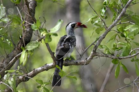 Red billed Hornbill bird stock photo, A Red-billed Hornbill found in Ruaha Park in Southern Tanzania Africa by Sharron Schiefelbein