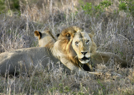 Lion Yawning stock photo, A male lion yawning in Mikumi Park Tanzania Africa by Sharron Schiefelbein