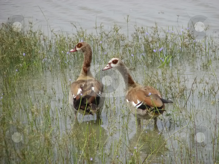 Egyptian Geese with dark patch around the eye and pink bill stock photo, Egyptian geese on the banks of the Rufiji River by Sharron Schiefelbein