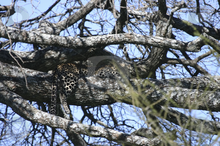 269 Leopard in tree watching stock photo, Well hidden in a tree a leopard watches for game. by Sharron Schiefelbein