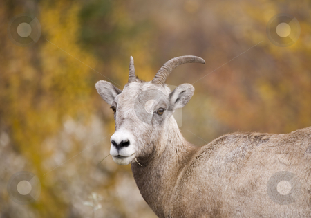 Rocky Mountain Bighorn Sheep stock photo, Bighorn Sheep in Jasper Alberta Canada by Sharron Schiefelbein