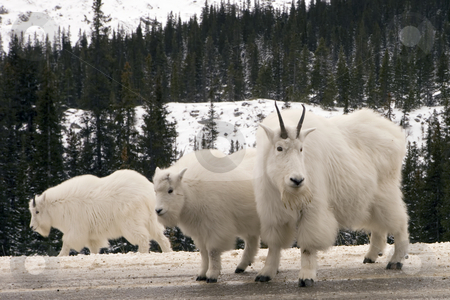 Mountain Goats stock photo, Mountain Goats in Jasper National Park by Sharron Schiefelbein