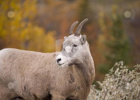 241 Rocky Mountain Bighorn Sheep stock photo, Bighorn Sheep in Jasper Alberta Canada by Sharron Schiefelbein