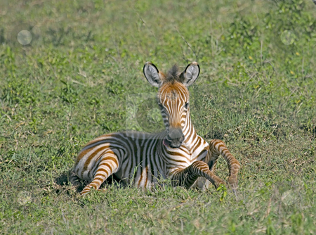 Young Zebra stock photo, Close up of a Baby Zebra in Tanzania by Sharron Schiefelbein