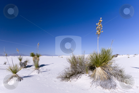 White Sands National Park stock photo, Plants surviving in the white sand desert trying not to be covered during wind storms. by Sharron Schiefelbein