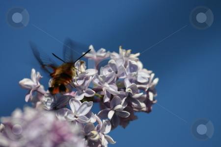 Humming bee on lilac flowers stock photo, Humming bee on lilac flowers by Sharron Schiefelbein